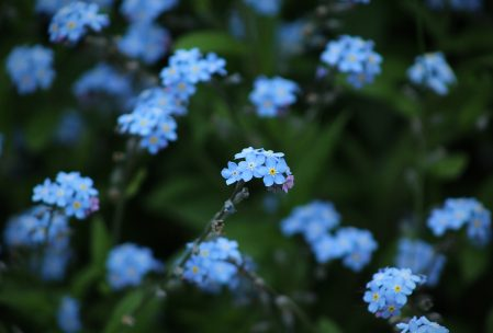Flores llamadas nomeolvides